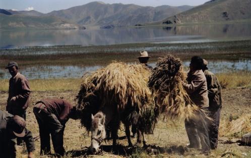 סוסים טיבטיים