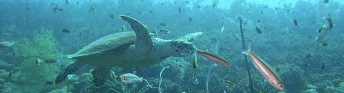צבי ים
