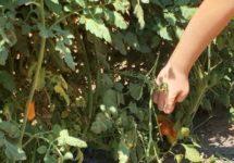 קטיף ירקות משוך בגזר - מושב צופית