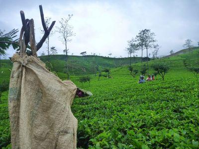גידול תה בסרילנקה